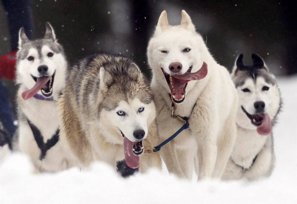 Resultado de imagen para huskys счастливый